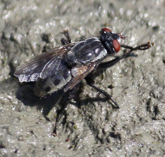 fly - Wohlfahrtia vigil