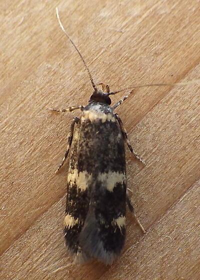 Autostichidae: Oegoconia quadripuncta - Oegoconia novimundi