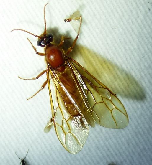 fly? - Labidus coecus