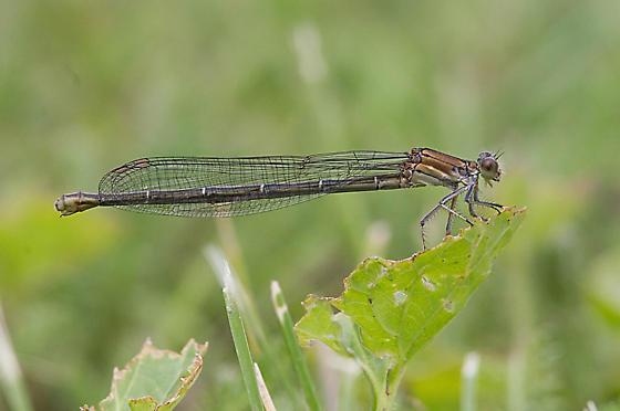 BFDA-Sanilac - Argia apicalis - female