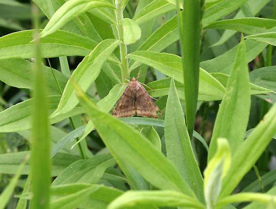 Moth ID Request - Caenurgina crassiuscula