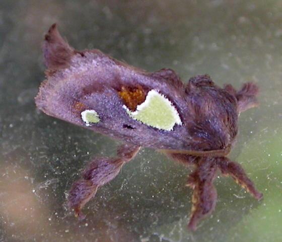 Nanina Oak-Slug Moth - Euclea nanina - male