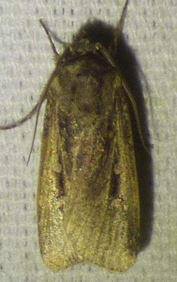unknown moth, Feltia? - Feltia subterranea