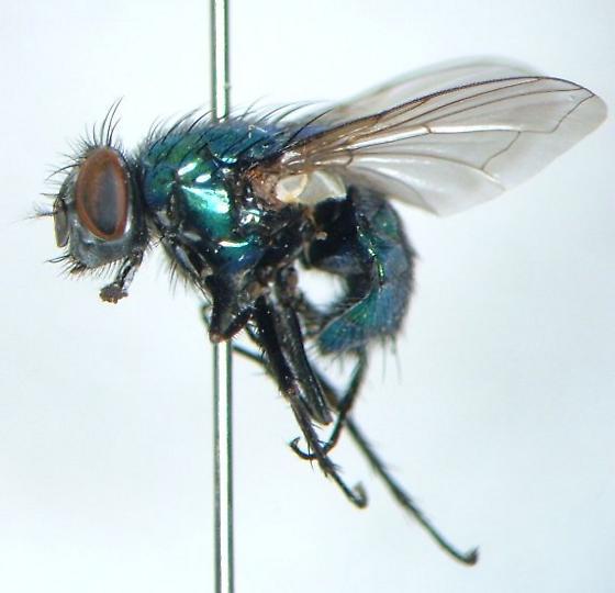 Lucilia silvarum - female
