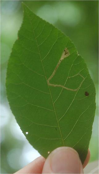 St. Andrews leaf miner on Carya tomentosa SA52 Phytomyza maybe 2015 3 - Stigmella caryaefoliella