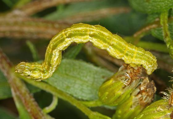 Looper Moth (?) Caterpillar - Pleuroprucha insulsaria