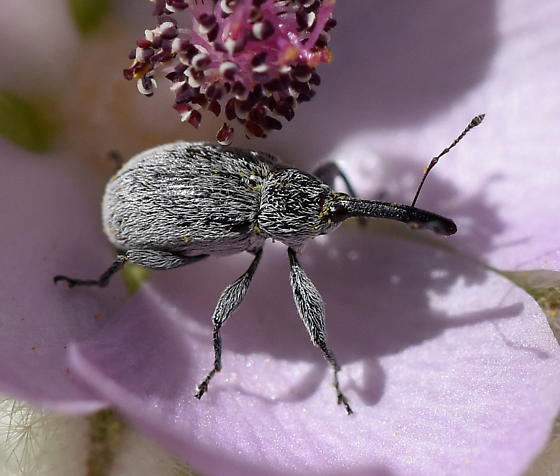 Weevil on Malacothamnus - Anthonomus
