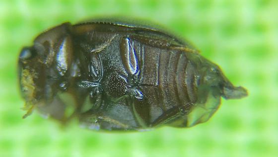HYDROPHILIDAE  Water Scavenger  Cercyon praetextatus