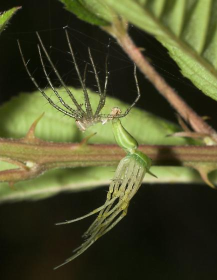 Later instar molting - Peucetia viridans - female