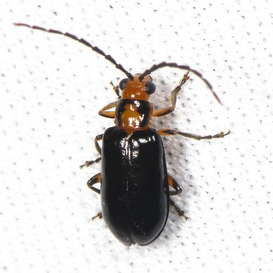 Phyllecthris gentilis? - Phyllecthris gentilis