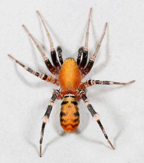 BG1176 D0039 - Castianeira amoena - male