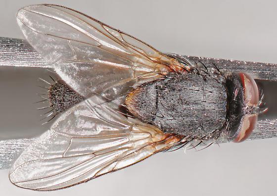 muscid - Muscina stabulans