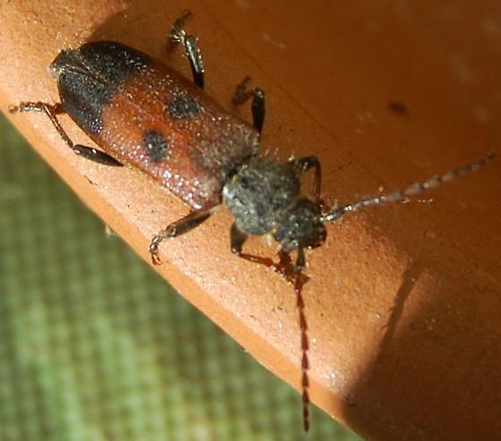 semanotus ligneus amplus  -  Western Cedar Bark Borer - Semanotus amplus