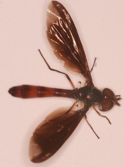bee fly? - Ocyptamus fuscipennis