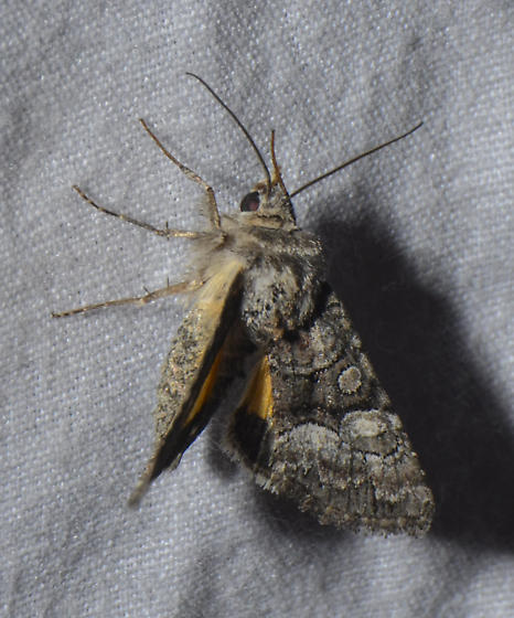 possible Pseudanarta flavidens - Pseudanarta flavidens