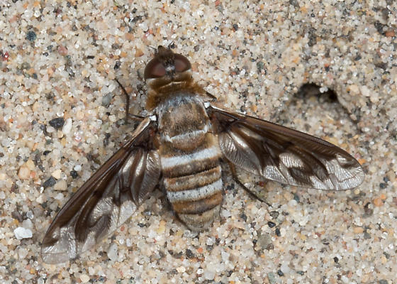 unknown bee fly - Exoprosopa fascipennis