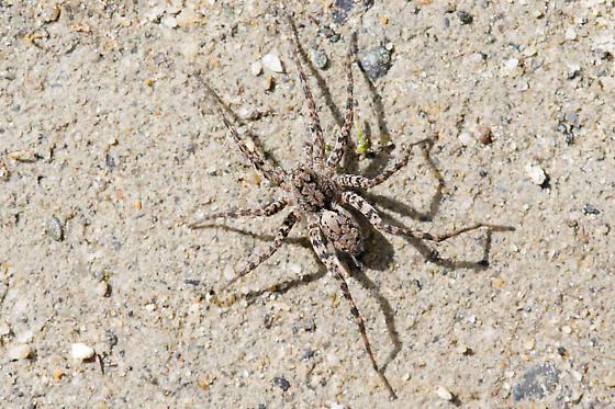 Spider sp - Pardosa xerampelina