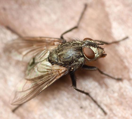 introduced blow fly - Bellardia vulgaris - female