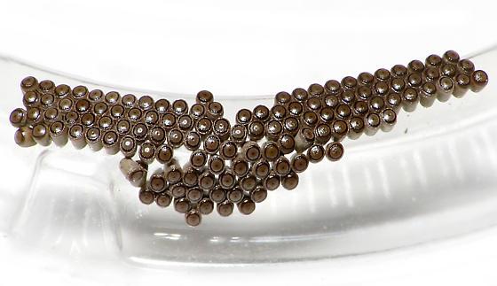 Eggs - Alsophila pometaria