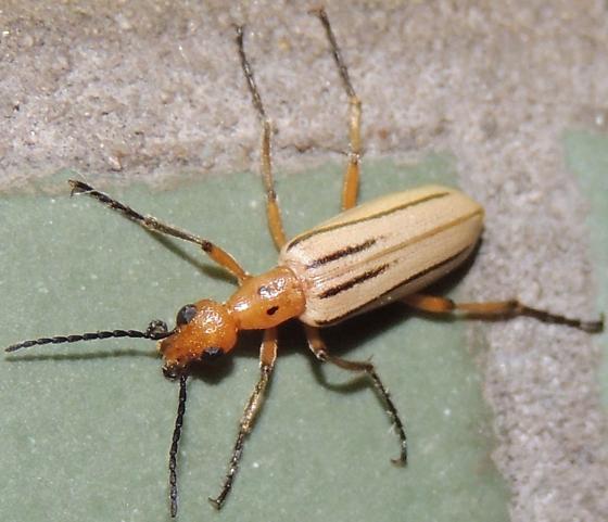 What species is this? - Pyrota