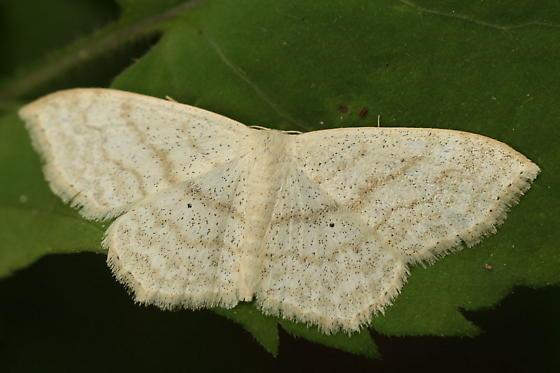 Black-freckled moth - Scopula limboundata