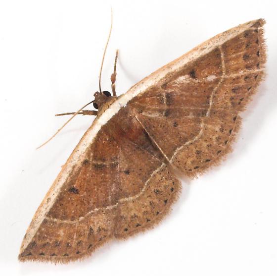 Moth to porch light  - Oruza albocostaliata