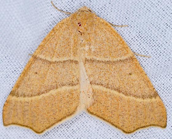Moth, dorsal - Destutia excelsa - female