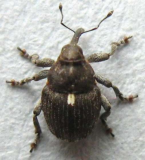 Small Snout Beetle - Glocianus punctiger