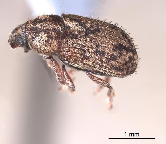Tiny broad-nosed weevil? - Pseudohylesinus pini