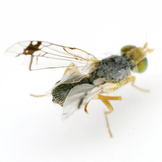 Trupanea - Trupanea radifera - male