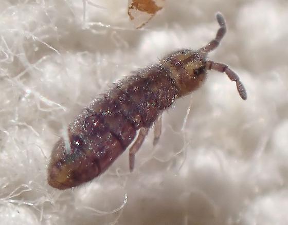 Isotoma with short antennae? - Isotomurus palustris