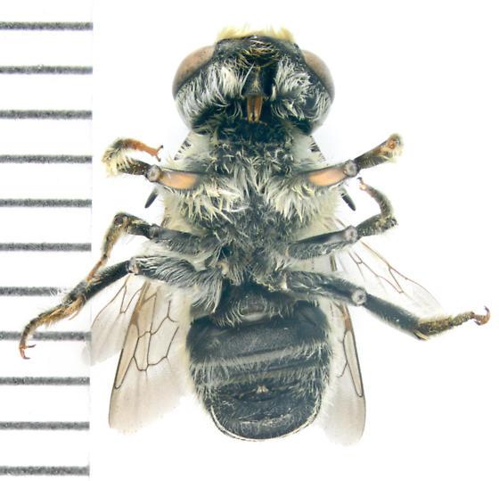 Bee, ventral - Megachile brevis - male