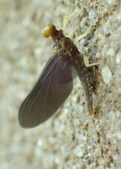 Mayfly identifiable to genus/species? - Eurylophella funeralis