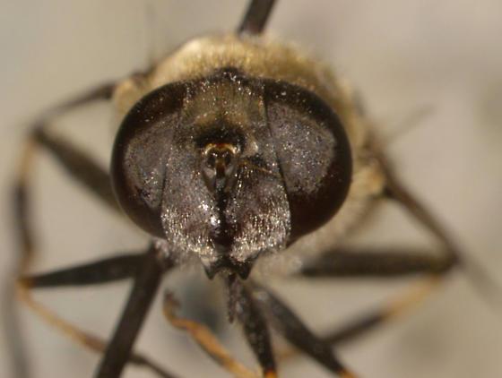 Syrphidae, Eristalis? - Eristalis dimidiata