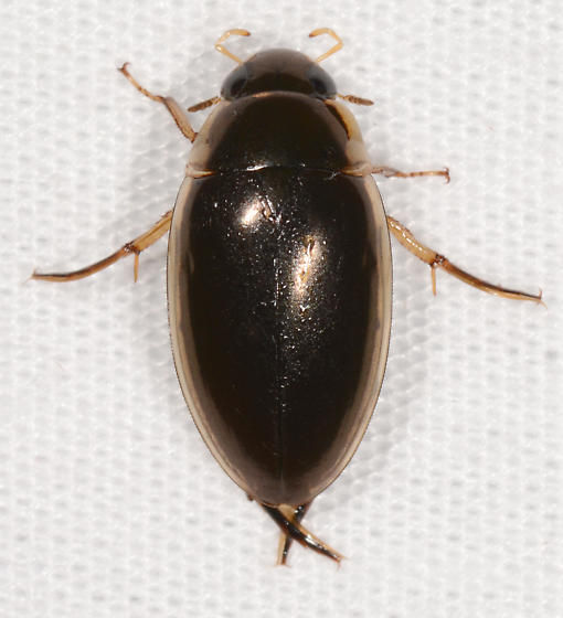 aquatic beetle ? - Tropisternus lateralis