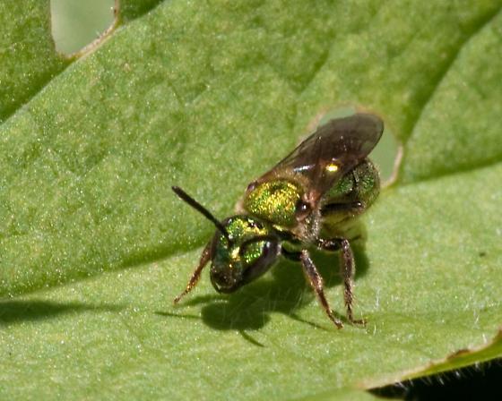 metallic - Augochlorella aurata - female