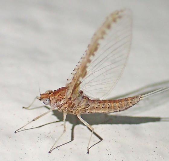 Female mayfly - Callibaetis ferrugineus - female