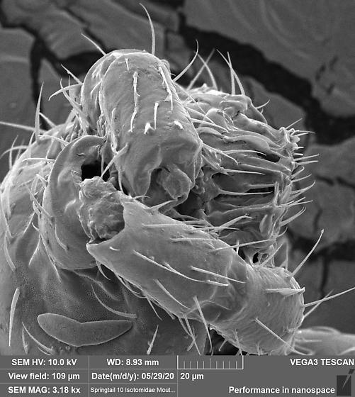 Isotomidae 10 - Folsomia