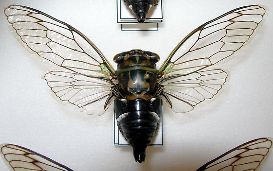 Tibicen latifasciatus - Neotibicen latifasciatus - male