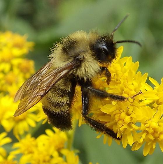 Apidae: Bombus bimaculatus? - Bombus citrinus - male