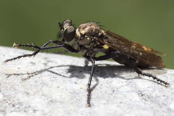 robber fly - long legs and abdomen with narrow white bands - Coleomyia alticola - female