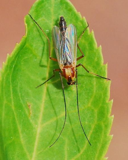 Gnat? - Chironomus ochreatus - female