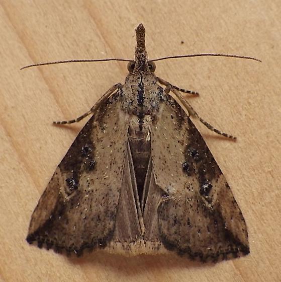 Erebidae: Hypena humuli - Hypena humuli