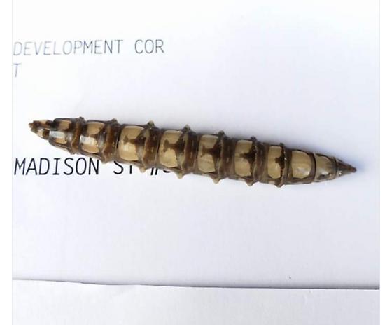 Unidentified bug or larvae found in Philadelphia - Tabanus atratus