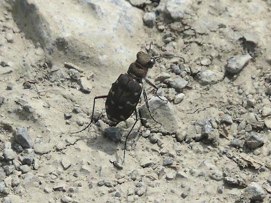 Tiger Beetle sp. - Cicindela duodecimguttata