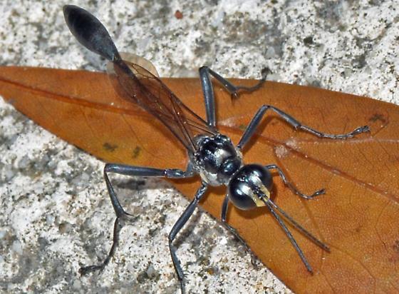 ? - Eremnophila aureonotata - male
