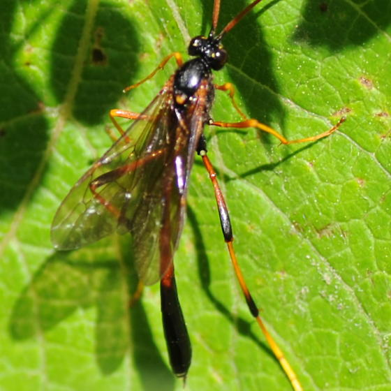 Moving wasp - Therion - female