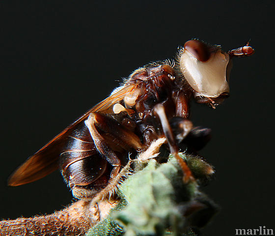 Fly - Myopa