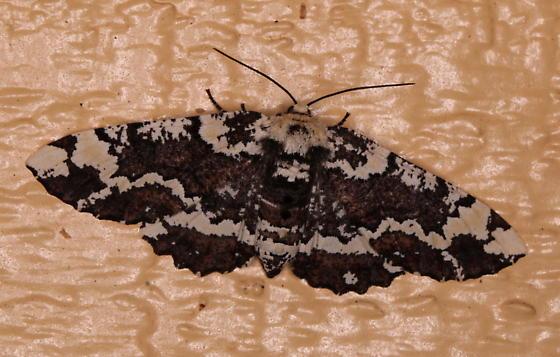 Phaeoura quernaria - female