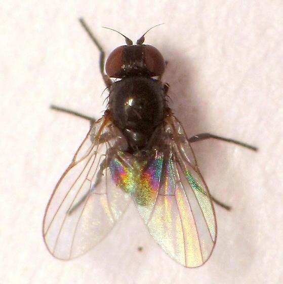 Ophiomyia camarae? - Ophiomyia camarae - female